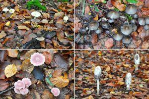 Pilze im Marscherwald, Müllerthal, Luxemburg